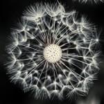 Цифра | Chaotic Atmospheres | Taraxacum Seed Head | 01