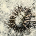 Цифра | Chaotic Atmospheres | Taraxacum Seed Head | 02
