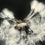 Цифра | Chaotic Atmospheres | Taraxacum Seed Head | 03
