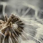 Цифра | Chaotic Atmospheres | Taraxacum Seed Head | 04
