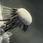 Цифра | Chaotic Atmospheres | Taraxacum Seed Head | 06