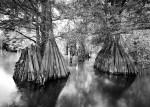 Фотография | Clyde Butcher | Cypress Trees