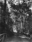 Фотография | Ансел Адамс | Path, Muir Woods, 1919